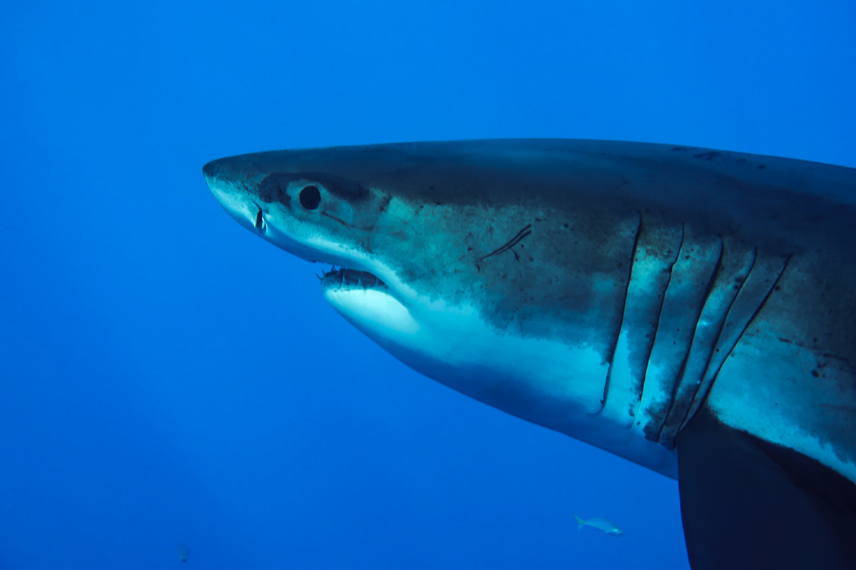 Guests on board get close enough to make eye contact with the great whites