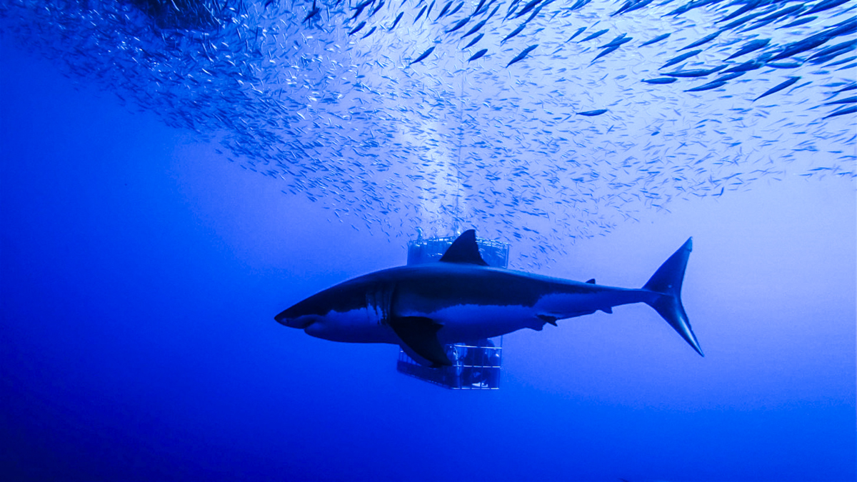 A great white passes in front of a submersible cage. Photo by Divemaster Jessie