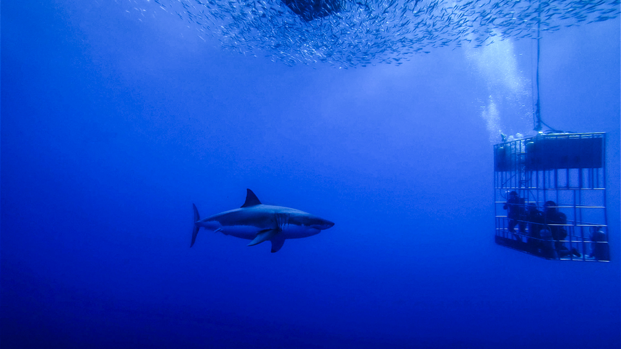 A great white staring contest. Photo by Divemaster Jessie