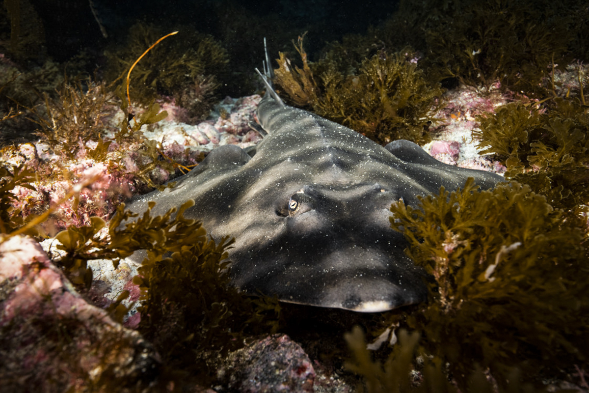 A guitar fish lurks in the shadows. Photo by Ortwin Khan