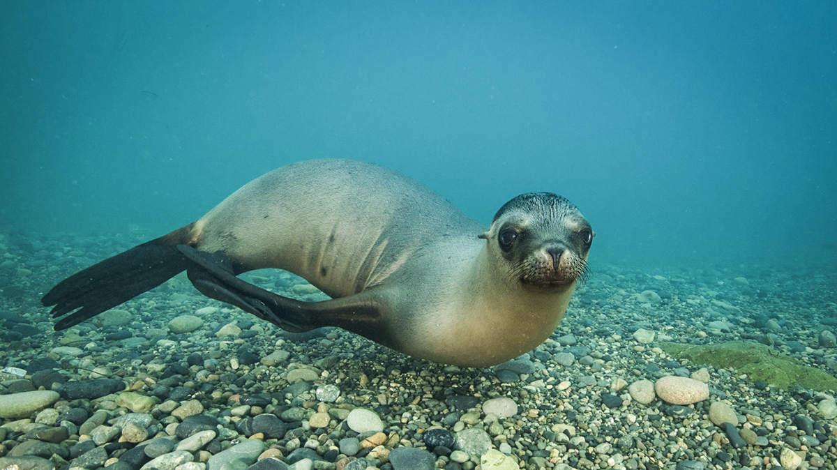 A sea lion plays with the camera. Photo by Ortwin Khan