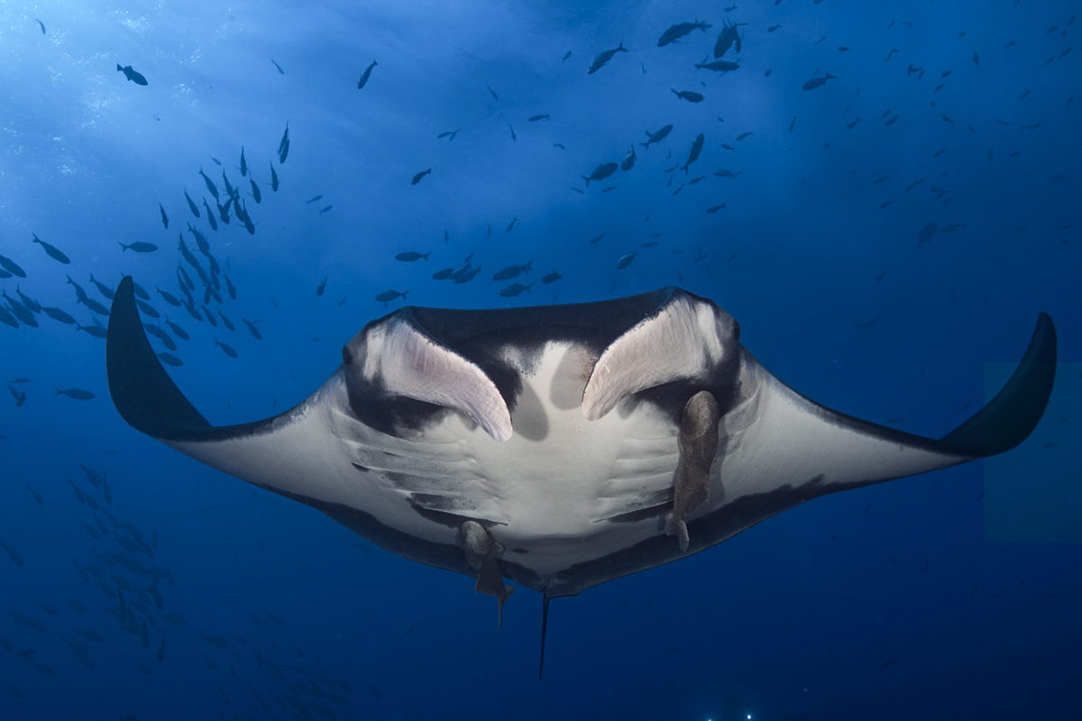 A view from below of a giant manta and its Remora! Photo by Ortwin Khan