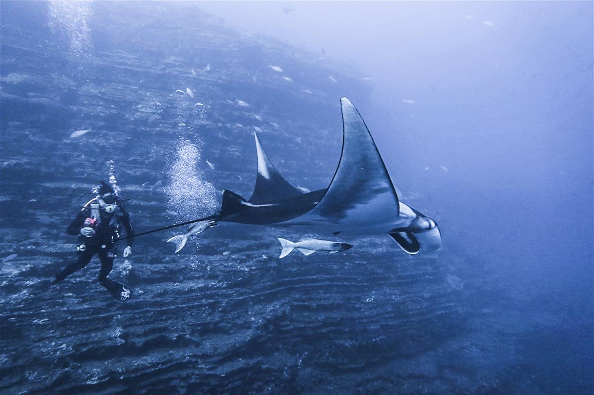 Divemaster Awei swims with a manta. Photo by Silvia Viola