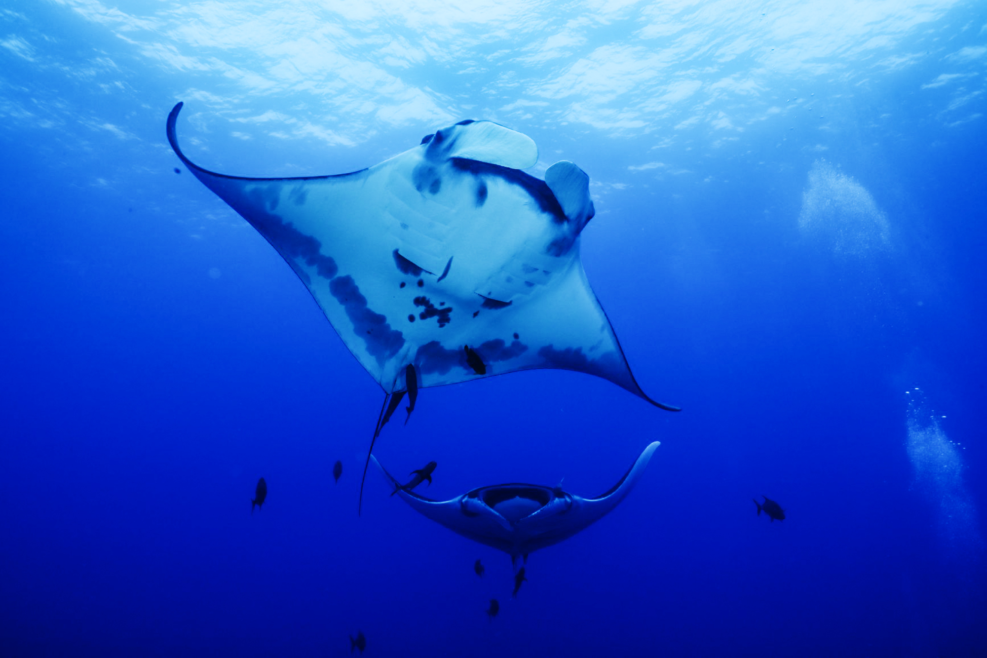 Two mantas dance together at Socorro