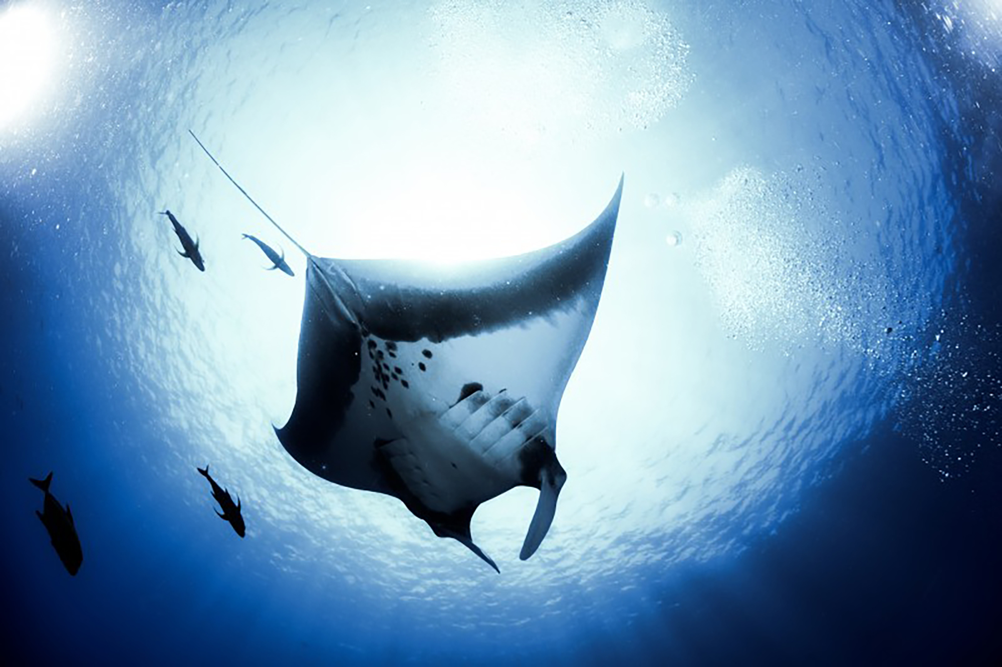 A manta backlit by the sun
