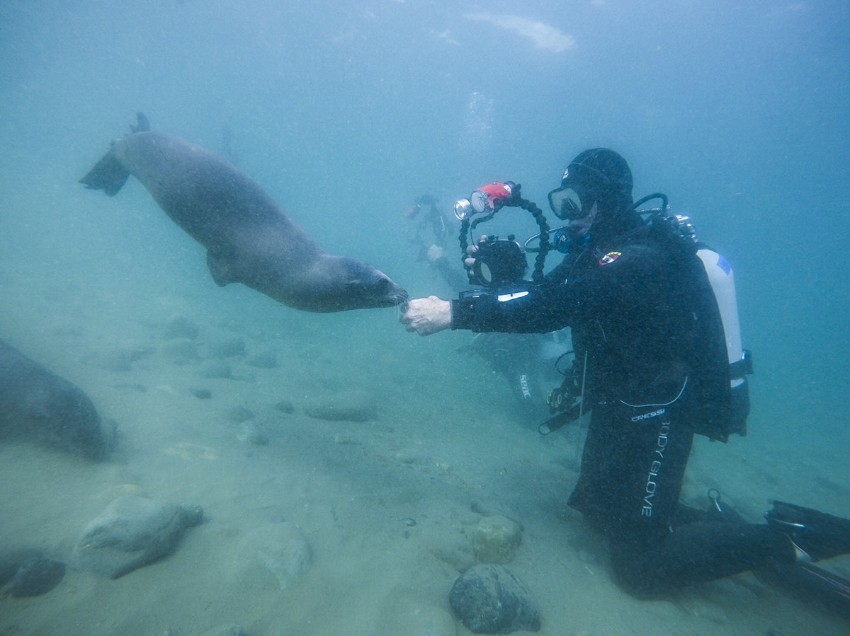 A sea lion checks out a diver at Cedros Island.