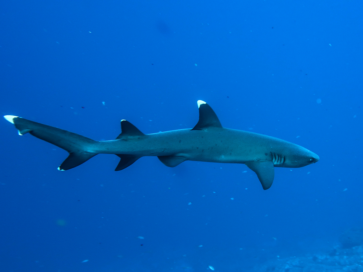 A whitetip shark at Socorro.