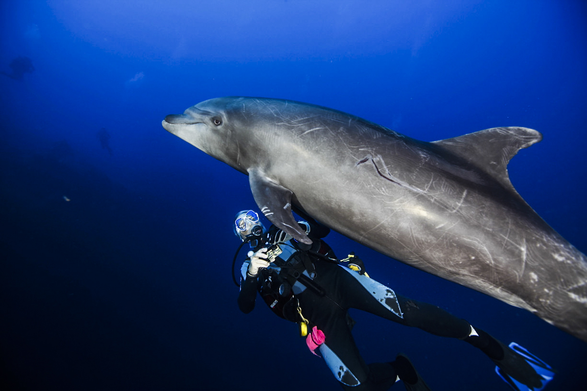 A diver plays with a dolphin at Socorro. Photo by Yves Lefevre