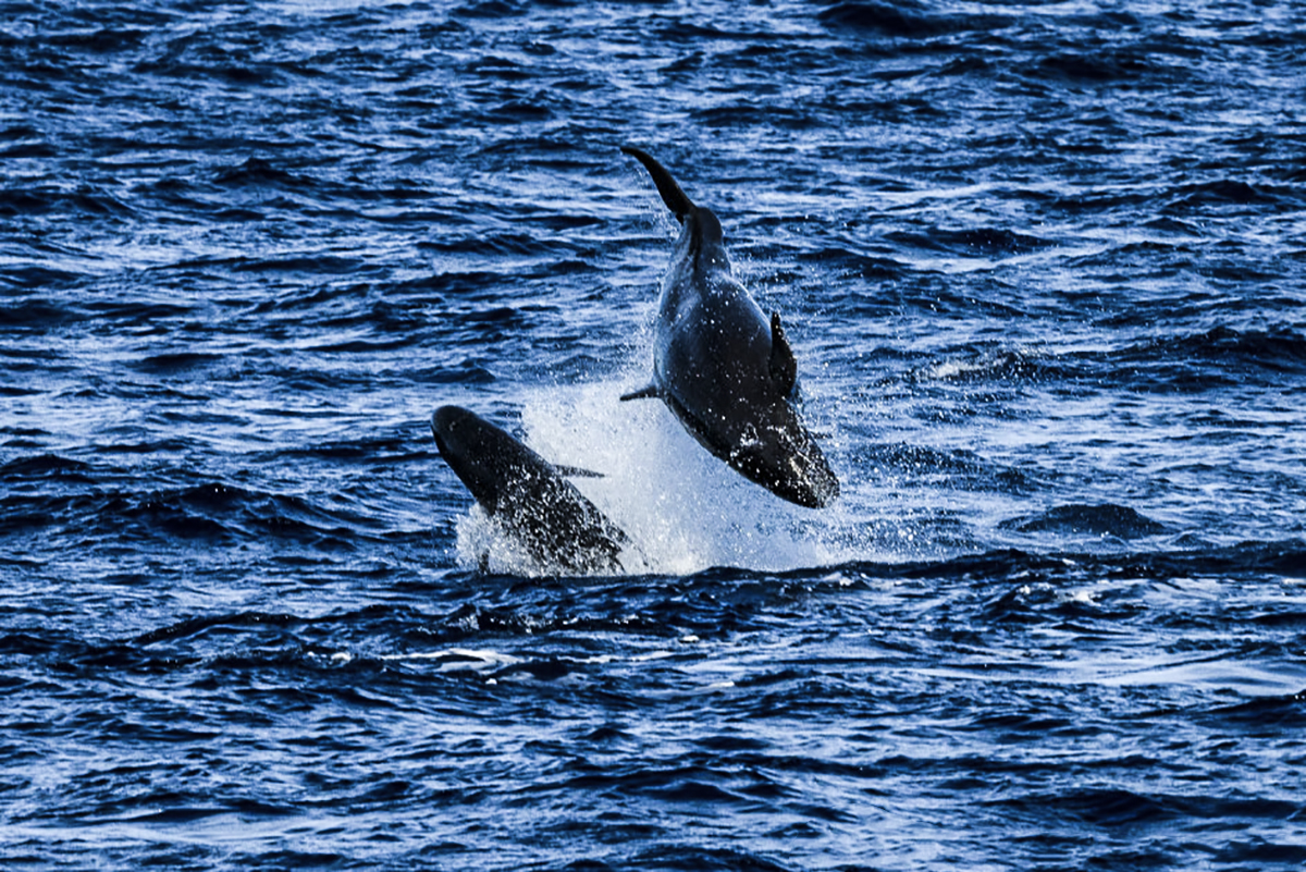 False Killer Whales Spotted in Socorro! Photo by Chuck Babbit