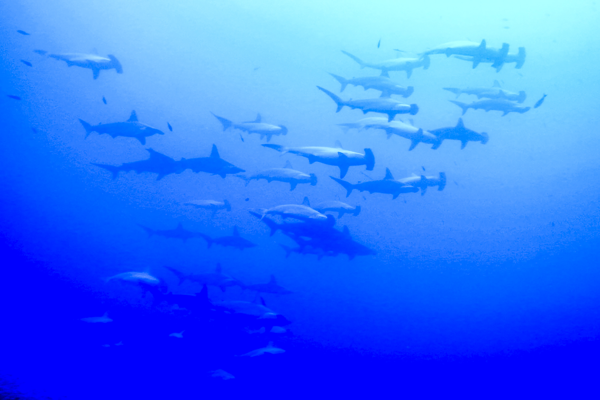 Schooling hammerheads delight at Socorro. Photo by Dan Tirtowidjojo
