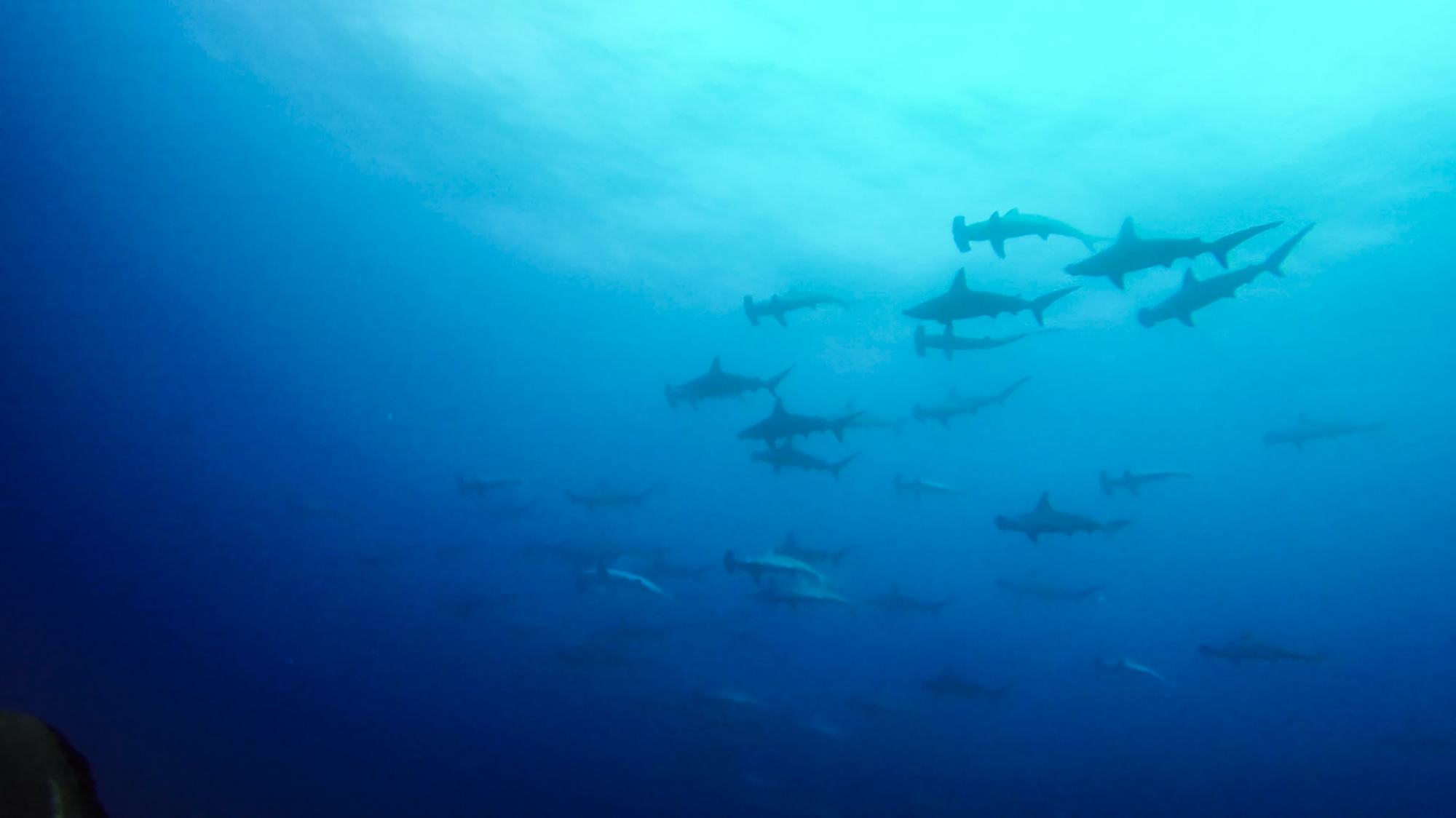 Schooling hammerheads at Socorro. Photo by divemaster Jessie