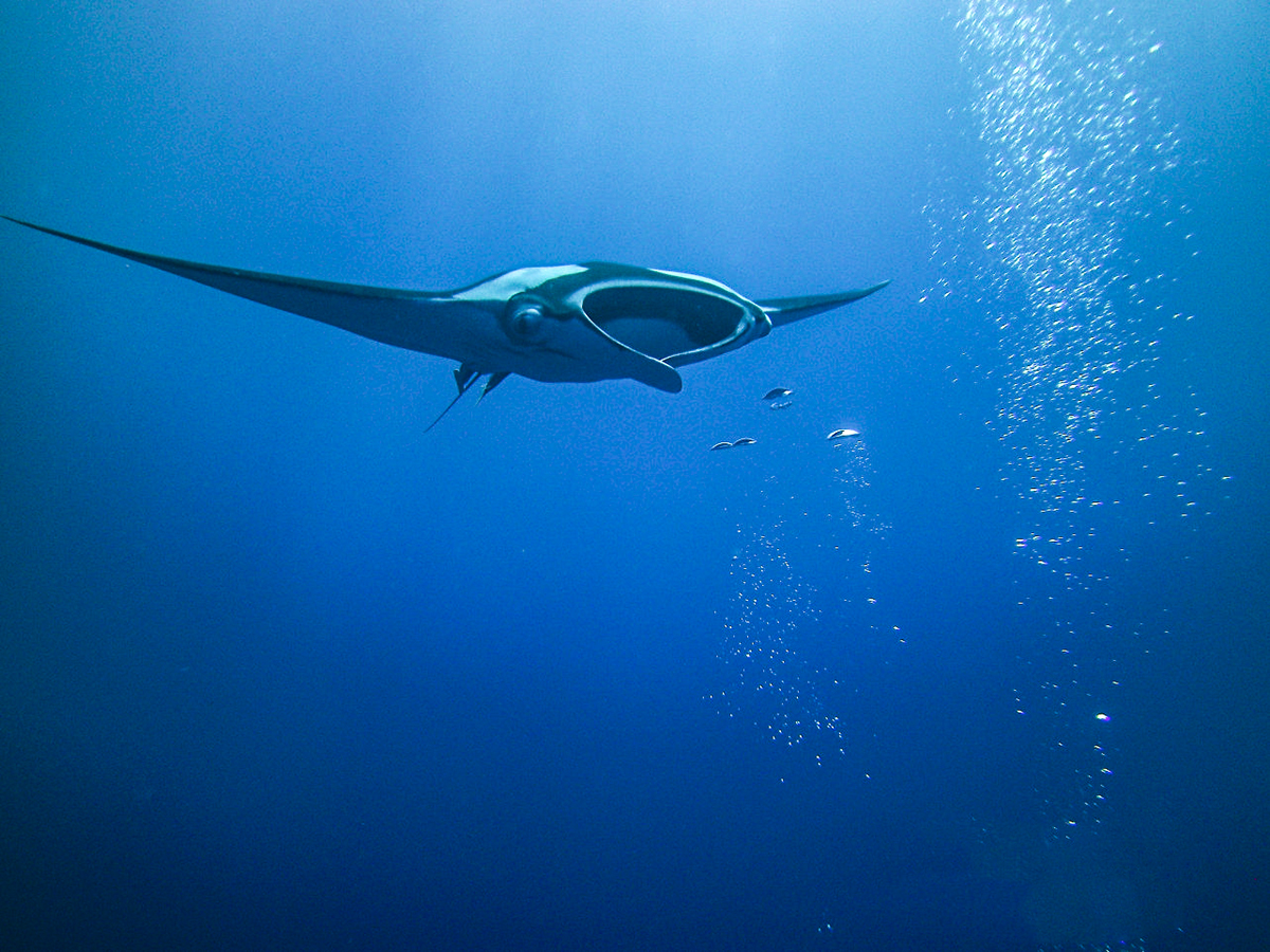 A manta swims towards diver bubbles