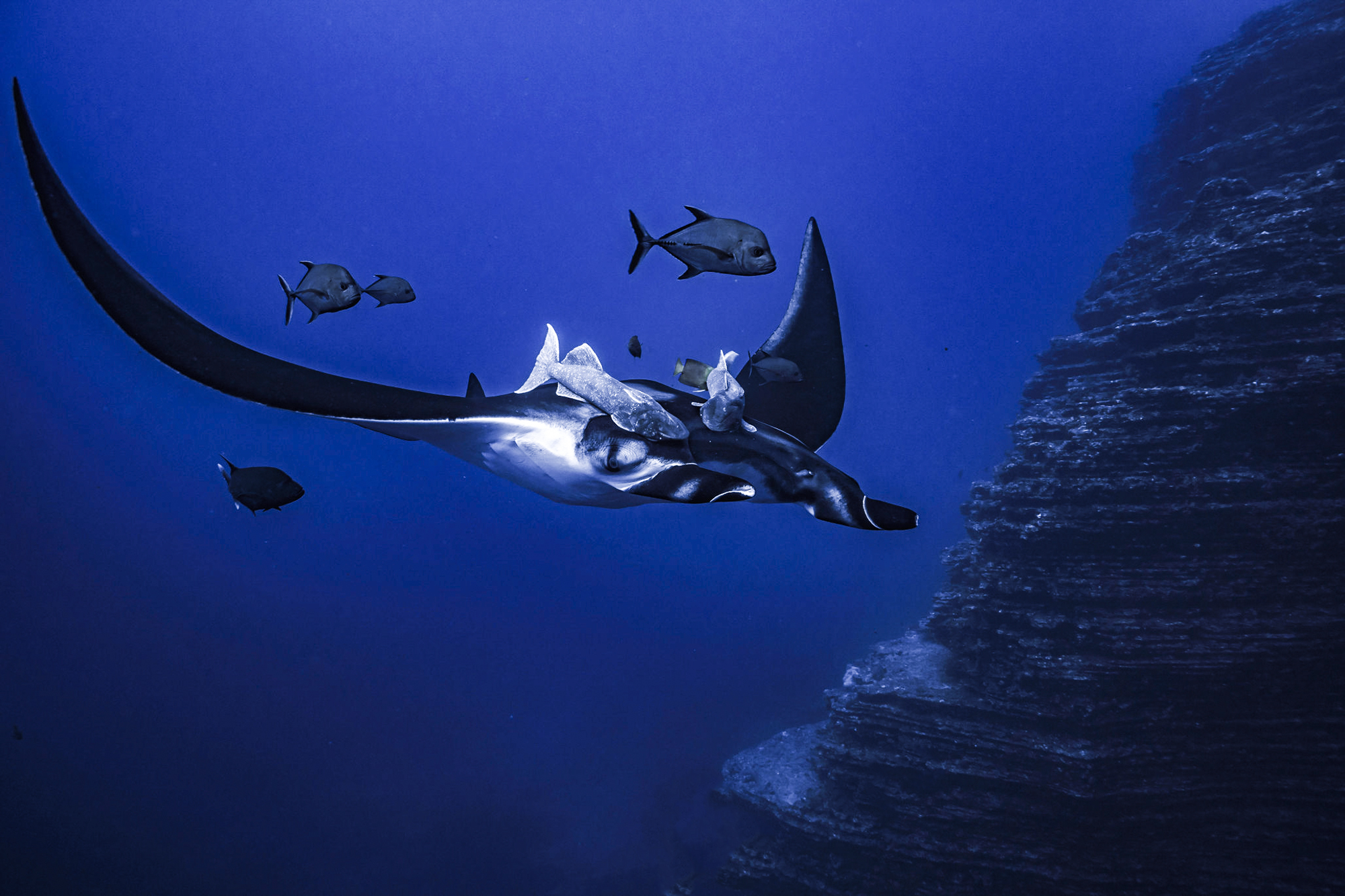 A beautiful manta flying with its remora. Photo by Divemaster Mirko