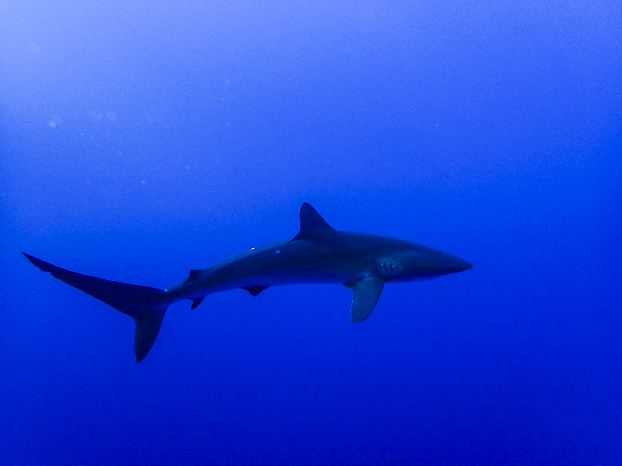 A shark glides through the blue at Socorro