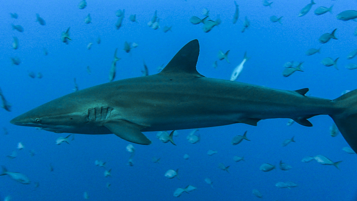 Sharks, sharks and more sharks at Roca Partida!