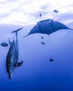 A giant manta and a dolphin at Socorro