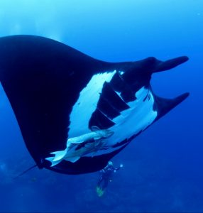 Giant Manta and Diver at Socorro, Nautilus Undersea