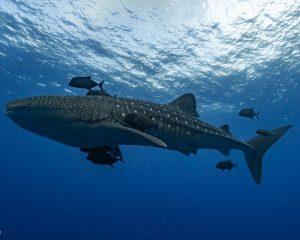 Whale shark at Socorro