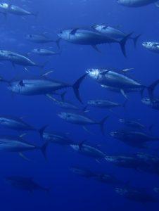 Tuna at Socorro, Nautilus Undersea