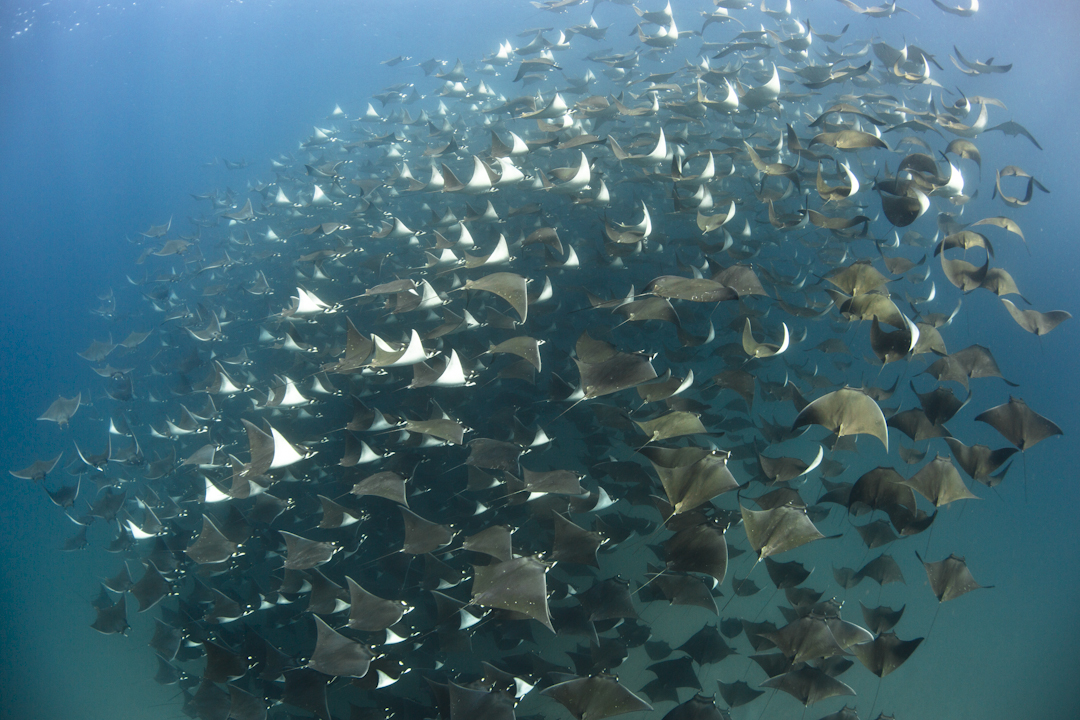 Swim with Mobulas and Orcas