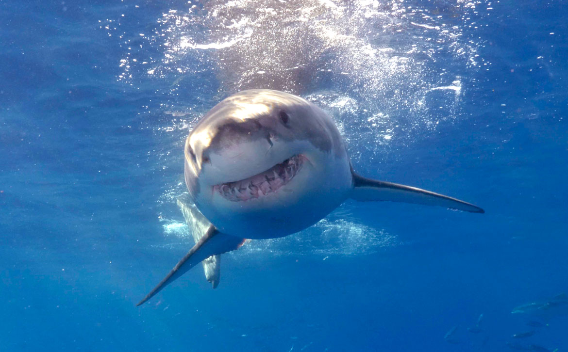 "Great White Shark ""Smiling"" at Guadalupe Island"