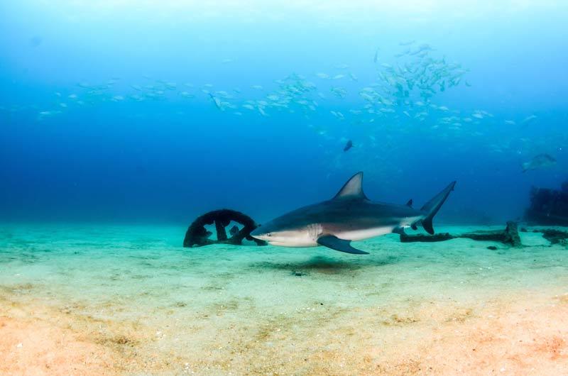 Cabo Pulmo Diving Bull sharks