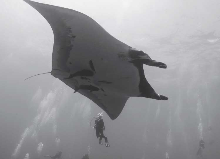 Giant Pacific Manta Ray on the shark Highway