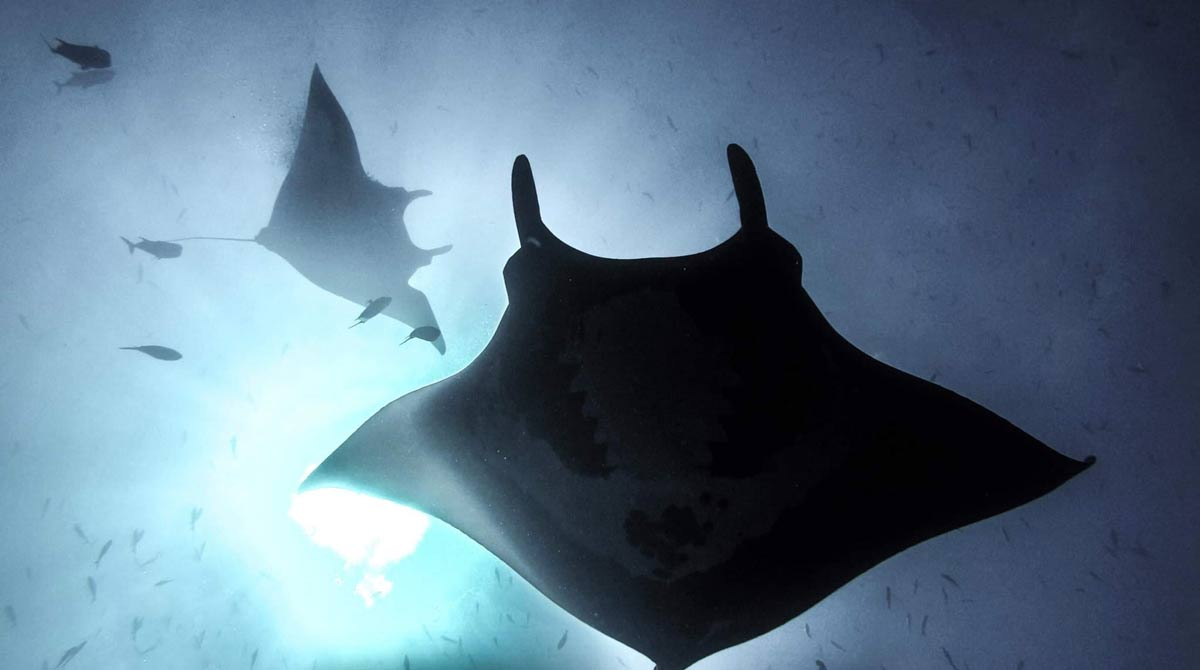 Dive with Giant Manta at Socorro Island