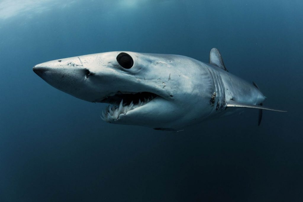 Mako Shark, the fastest shark in the world : An Endangered Species