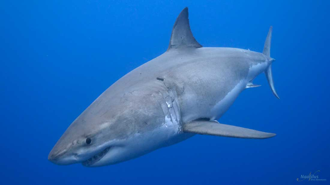 Diving Guadalupe: Face-To-Face With Great White Sharks – Sustainable Tourism (1/2)