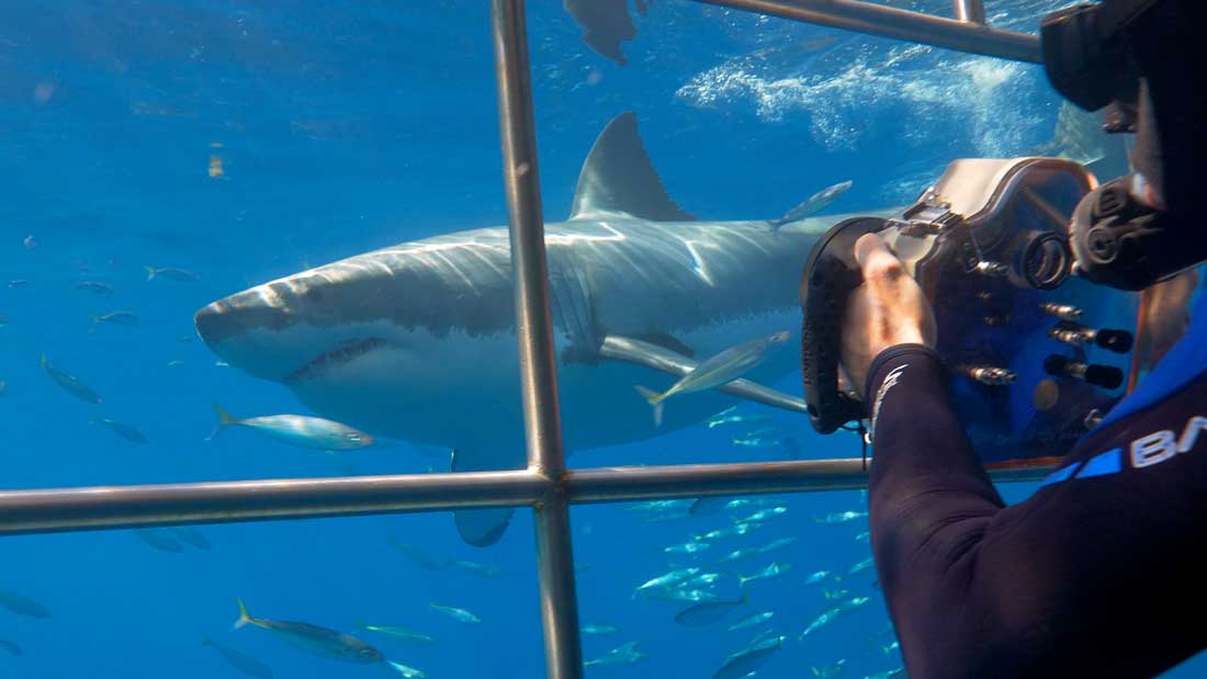 Diving Guadalupe: Face-To-Face With Great White Sharks – Sustainable Tourism (2/2)