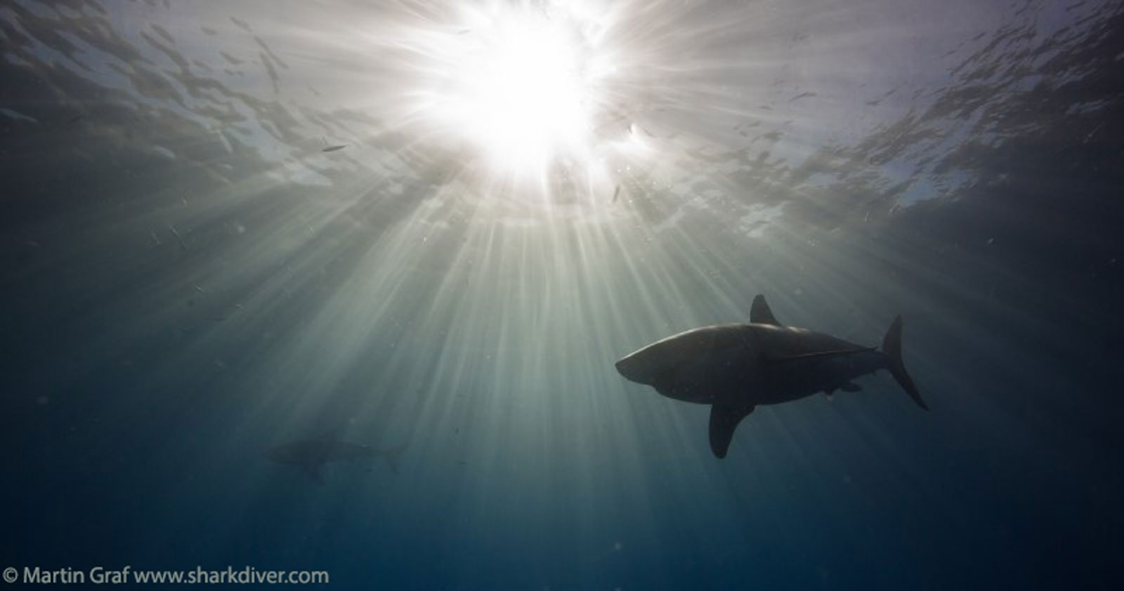 Martin Graf - Shark at guadalupe island