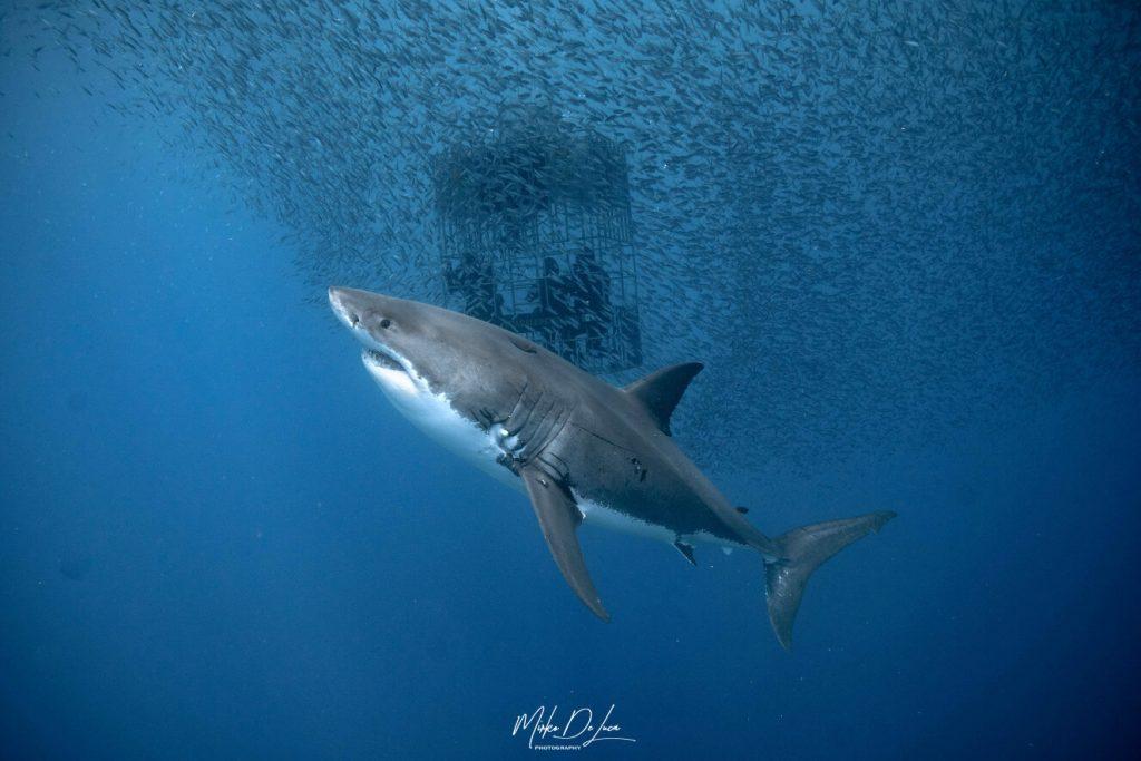 Les grands requins blancs ont les yeux bleus