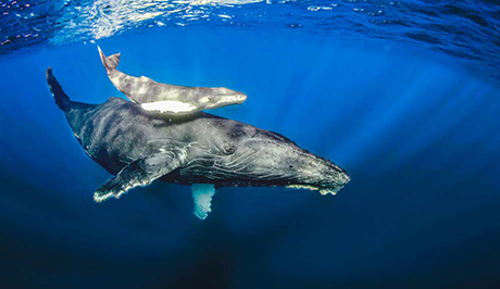 Humpback whale, calf, and diver
