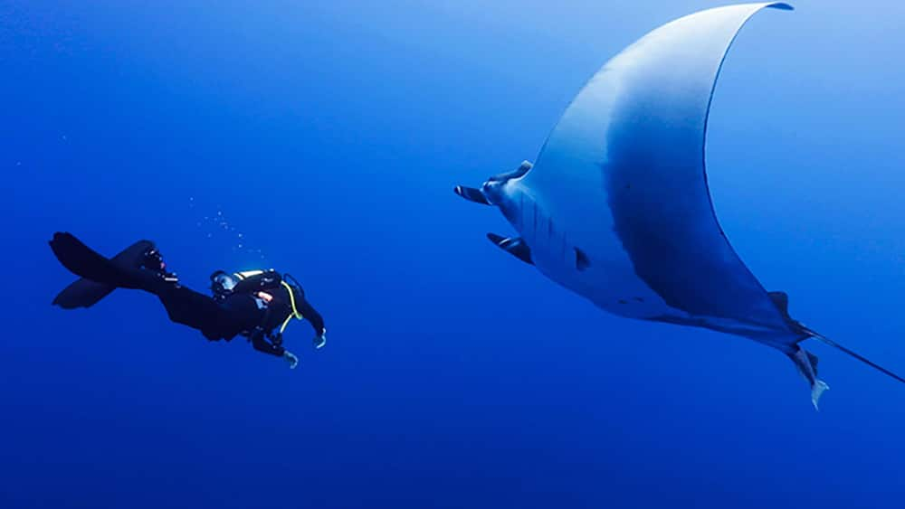Diver and manta close encounter