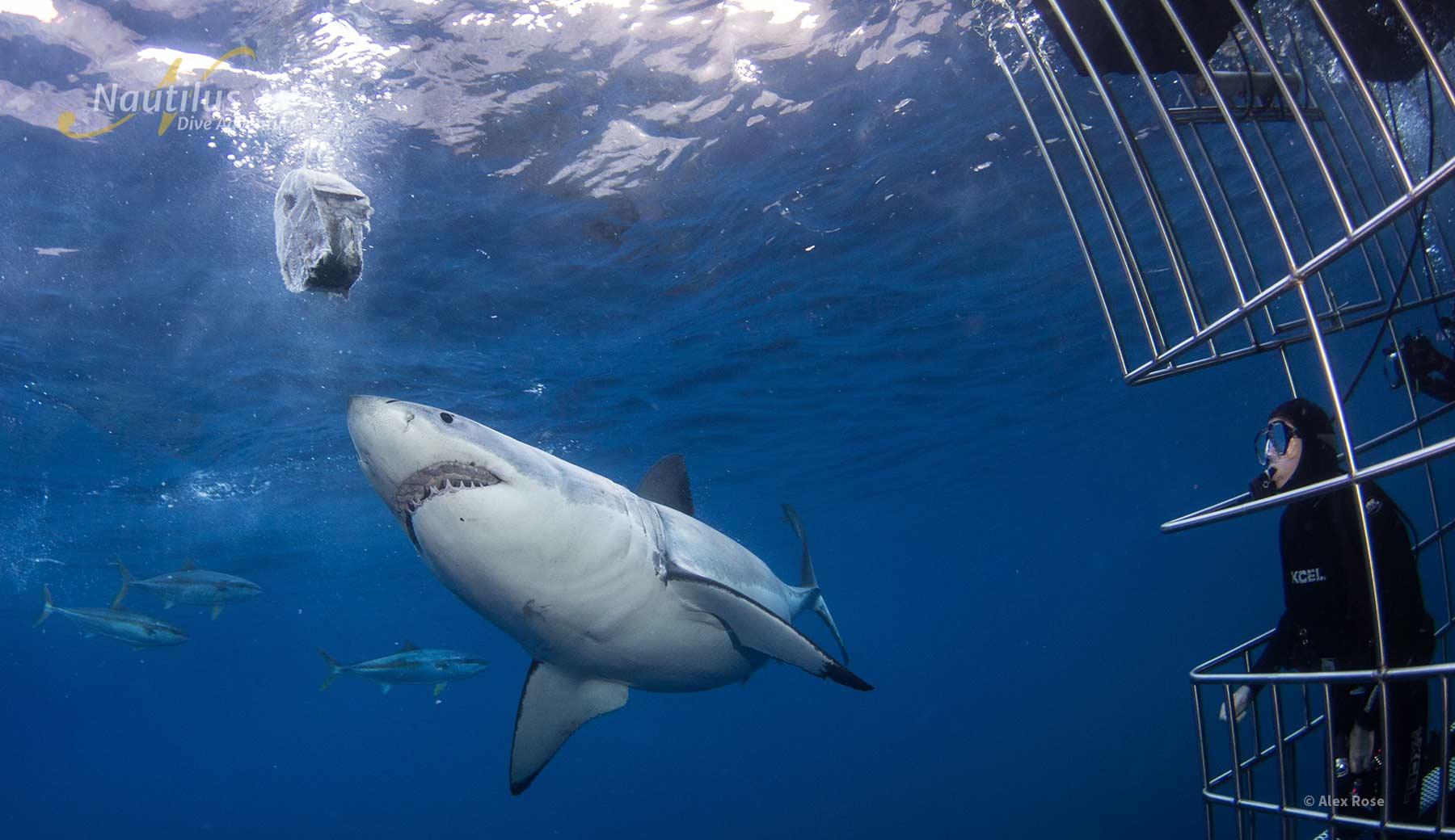 Amazing great white shark sighting