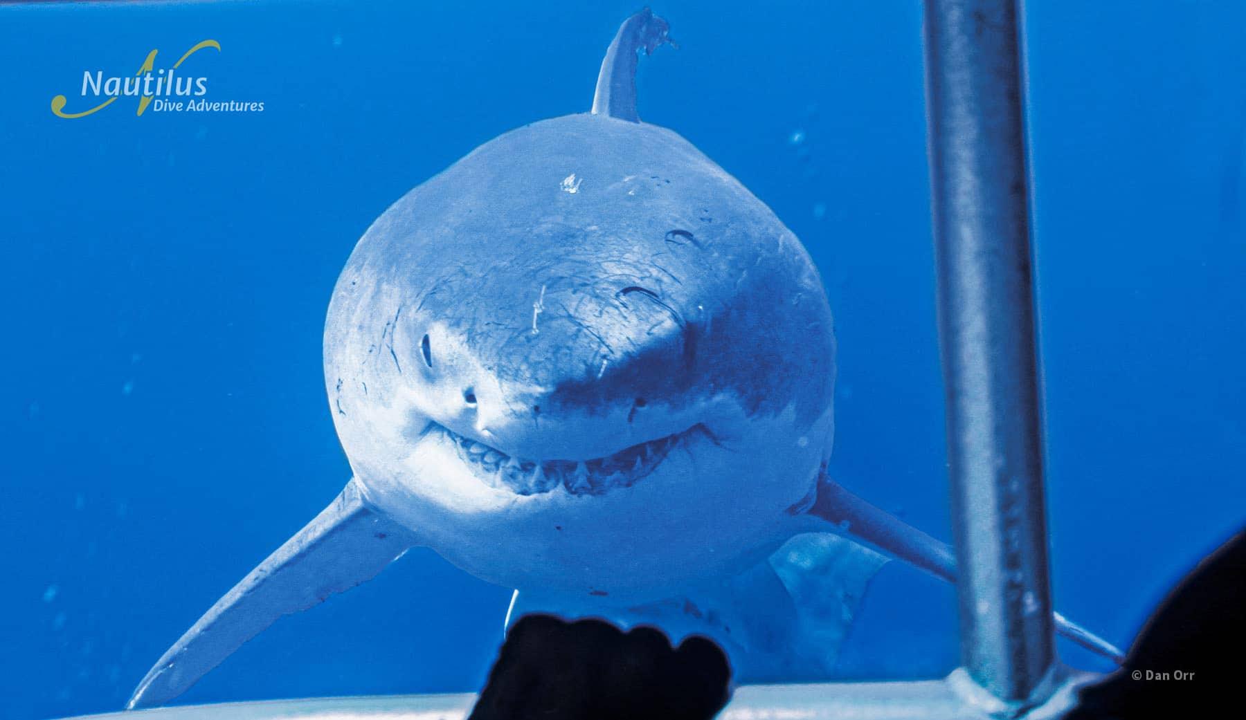 Big momma great white shark