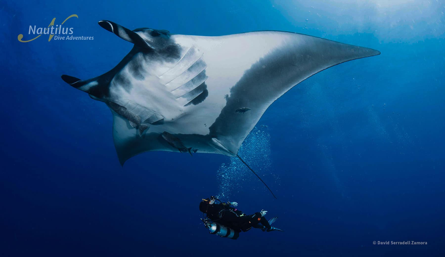 A diver give a bubble massage to a Giant Manta ray