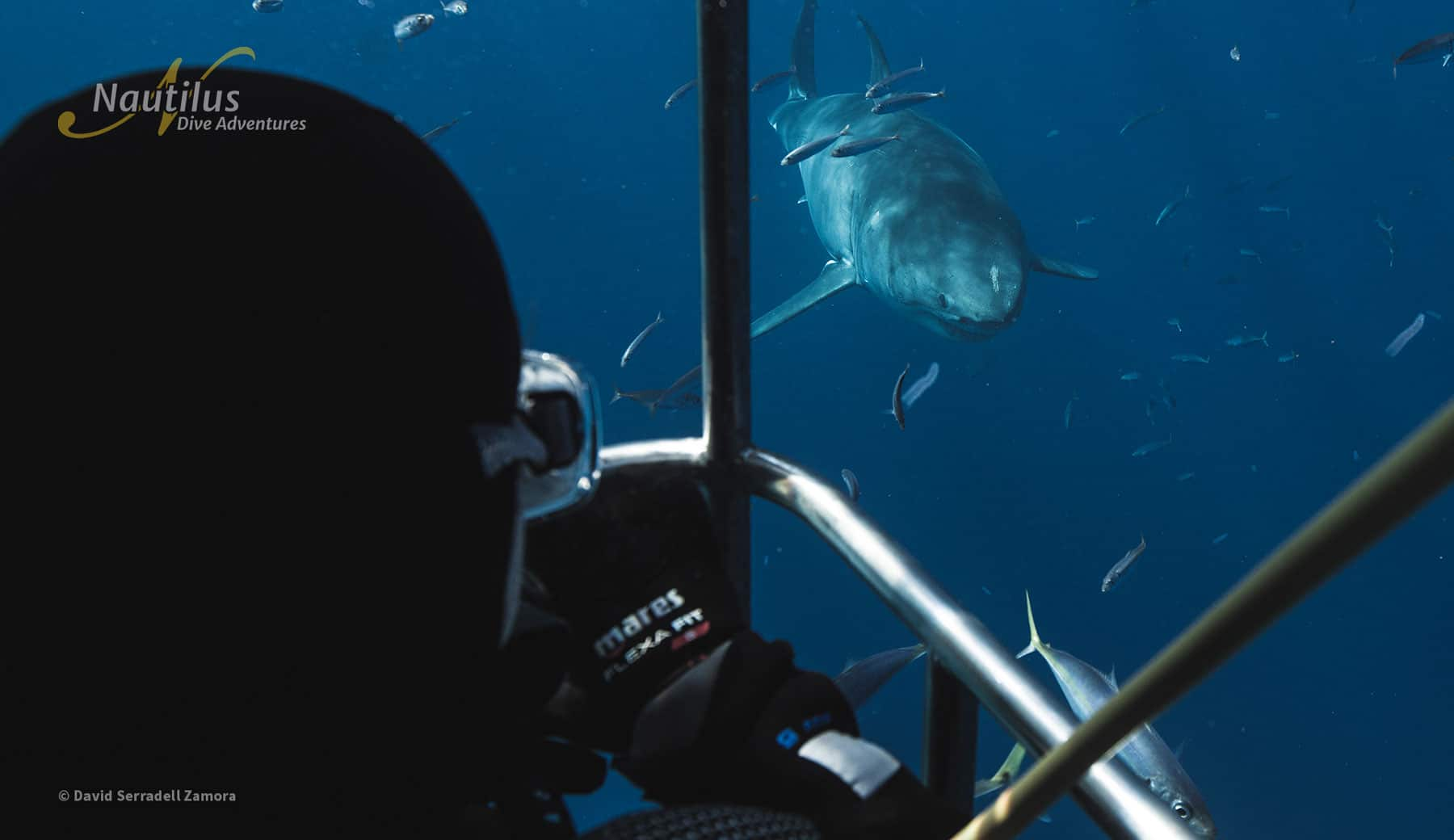 Great white shark approaching the cage