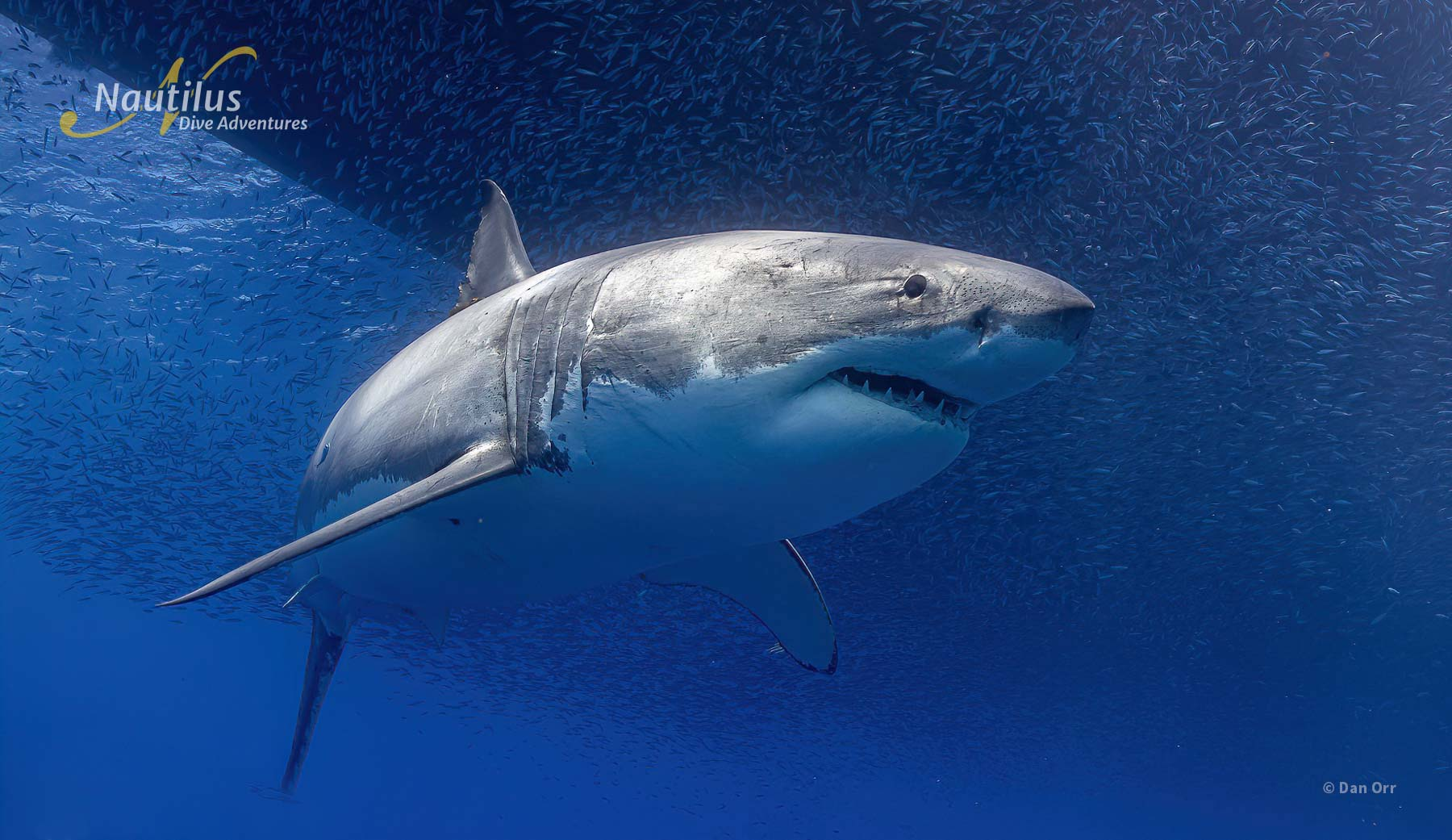 Great white shark cruising under the boat at Guadalupe Island