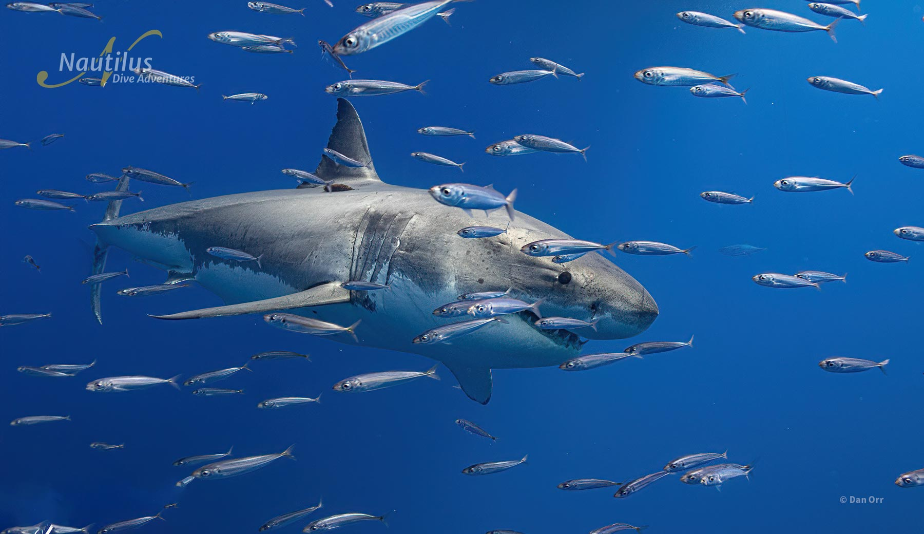 Great white sharks are nothing short than spectacular