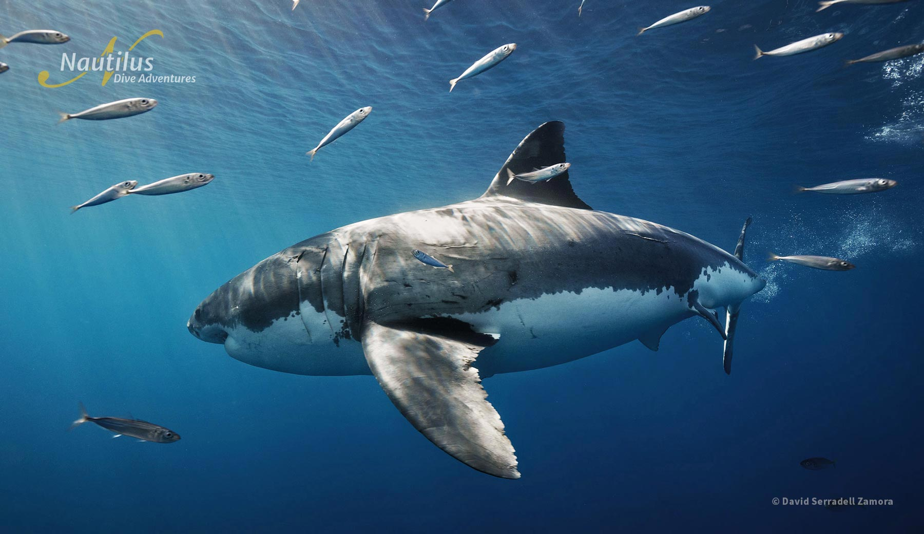 Nautilus Shark identification program