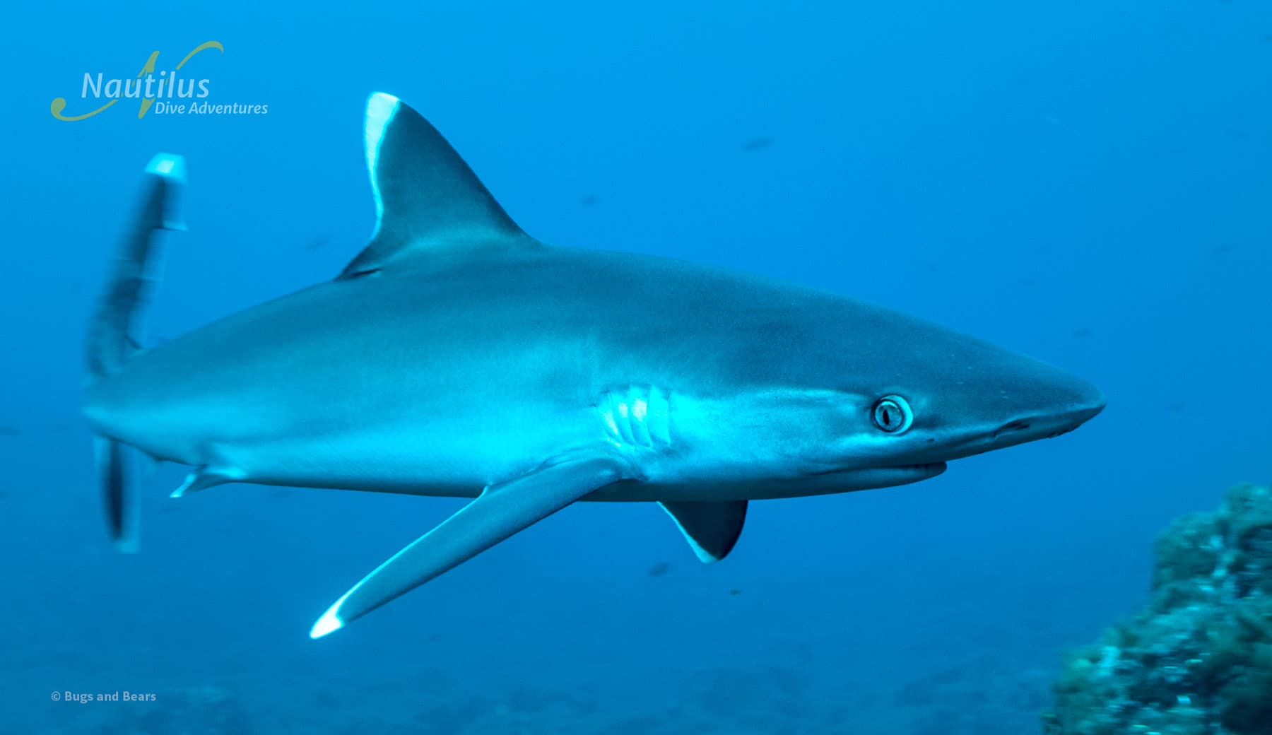 Silky Shark night Snorkel at Socorro Island