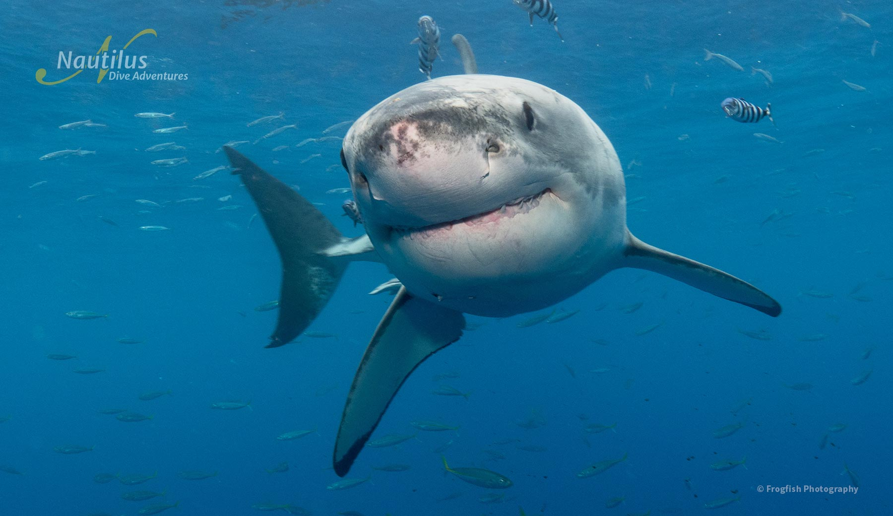 Close encounters with a great white shark