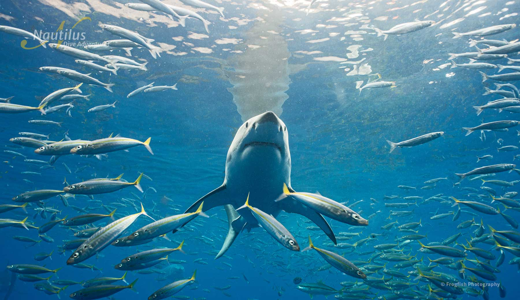 Great white sharks and fishes at Guadalupe