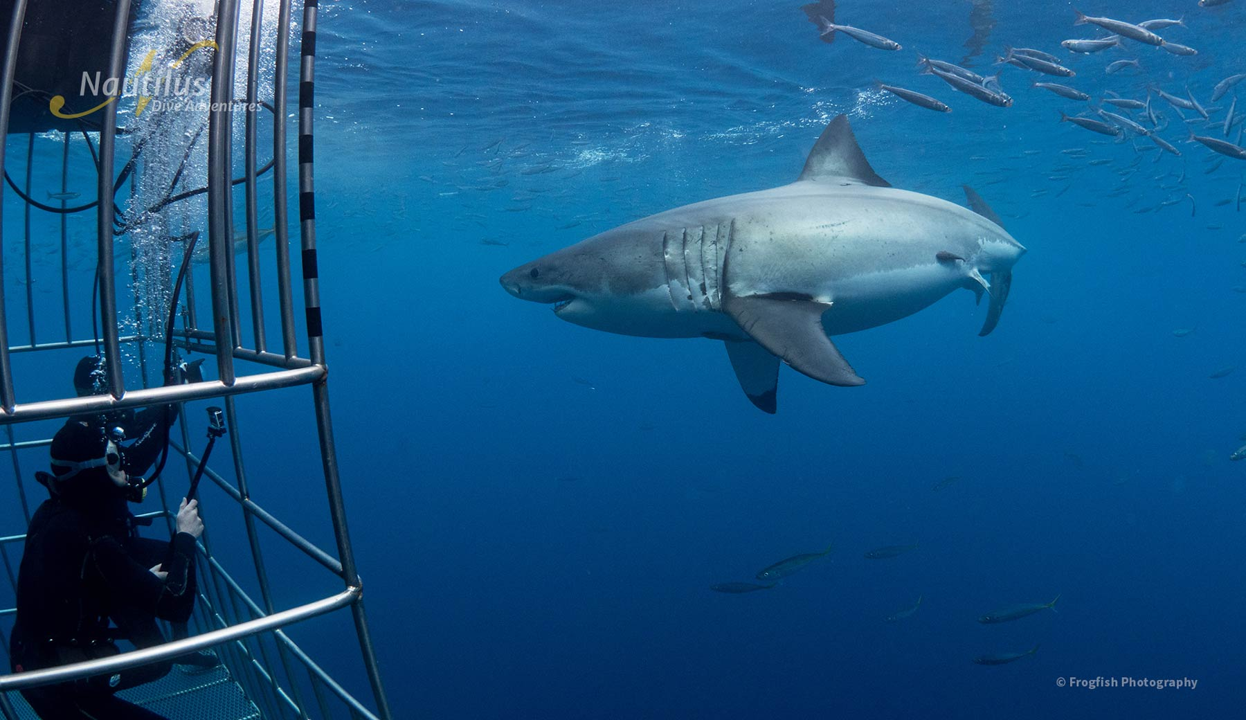Observe the sharks safely from our cages