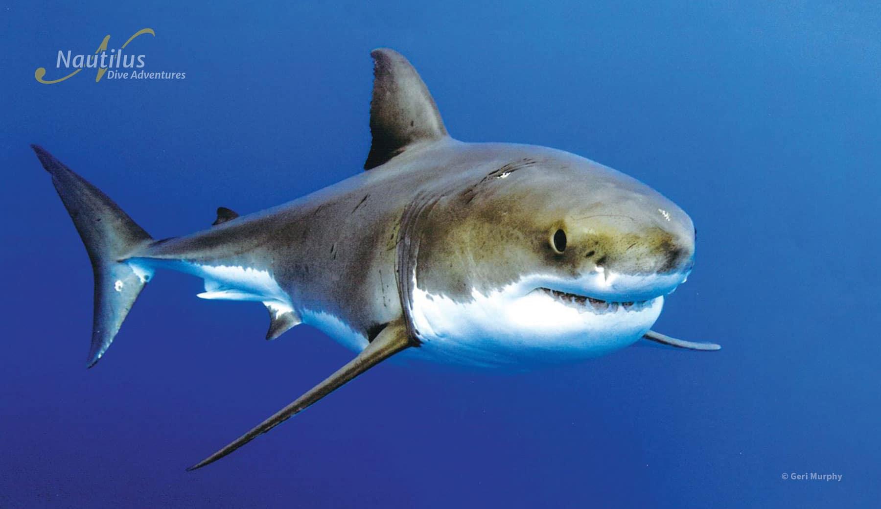 Guadalupe Island Great White Shark
