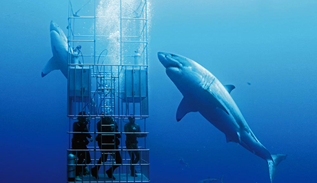 3 shark cage divers facing a great white shark