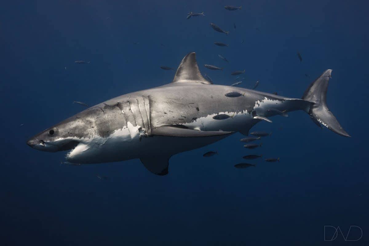 Great White sharks personnalities