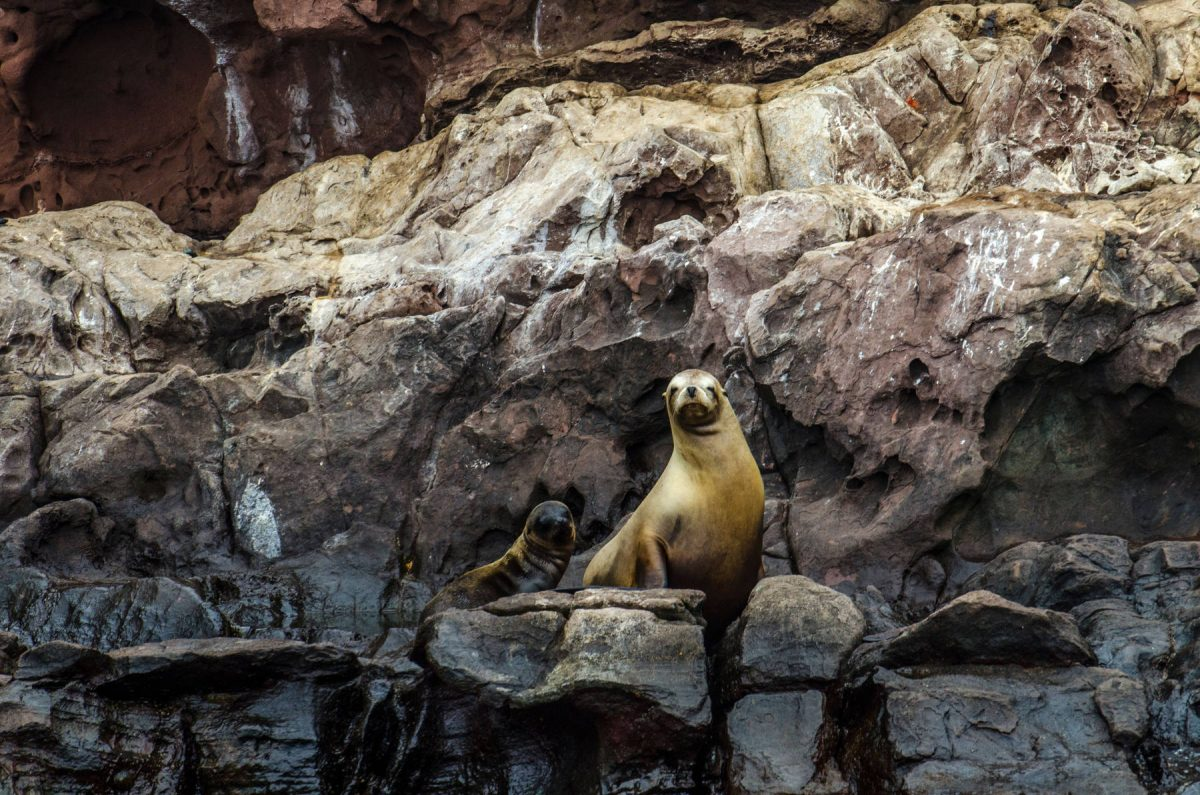 Guadalupe fur seals in the sea of Cortez